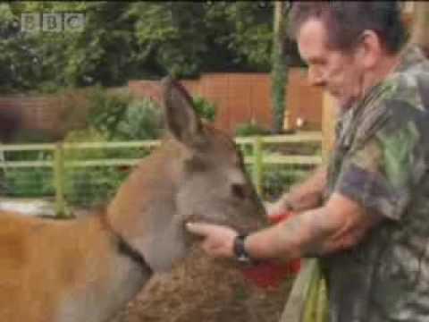 Real life Bambi - BBC wildlife