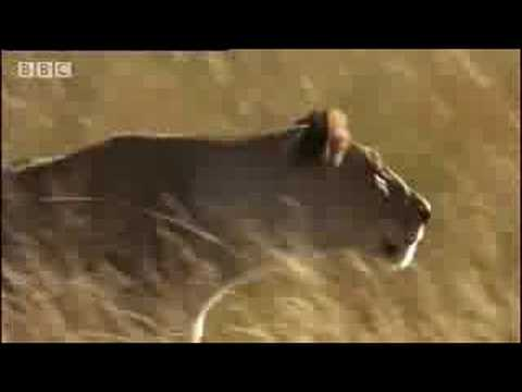 Buffalo tracked by lions and a lost lion cub  - BBC wildlife