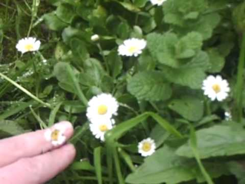 Daisy - Plants - ESL British English Pronunciation