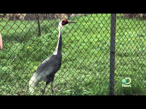 Rare Cranes Get Second Chance