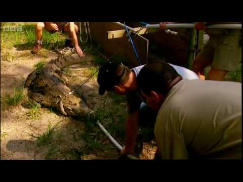Measuring a crocodile's bite - Horizon - BBC