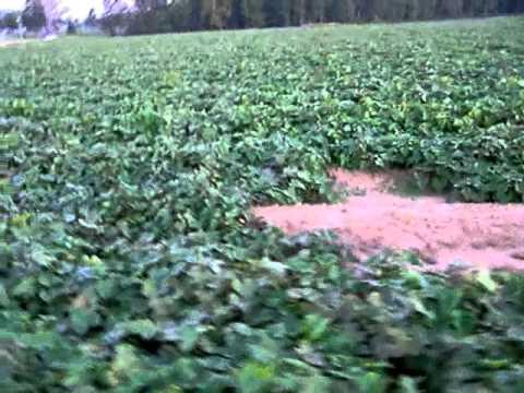 Walking through a bean field in North Carolina