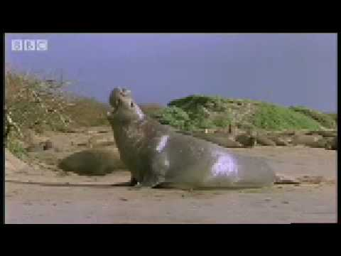Size is Everything: Bull Elephant Seals - Battle of the Animal Sexes - BBC