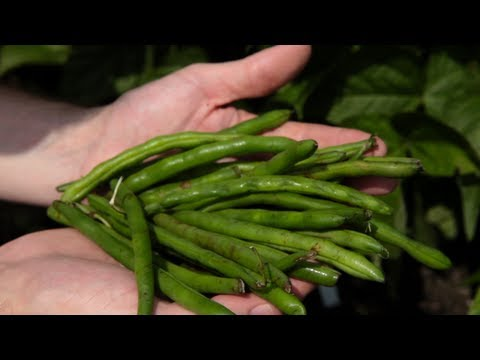 When to Plant Beans