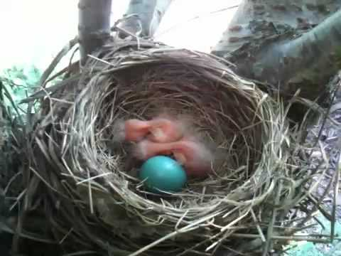 Baby Robins Respond To My Whistling