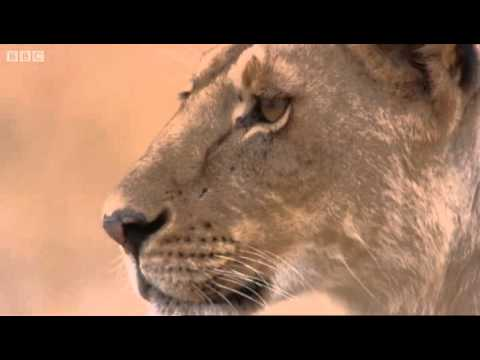 Lioness vs Cheetah - Big Cat Diary - BBC