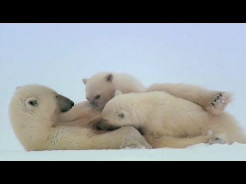 POLAR BEAR: SPY ON THE ICE - SPY CAM