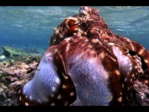 Amazing Octopus Color Transformation