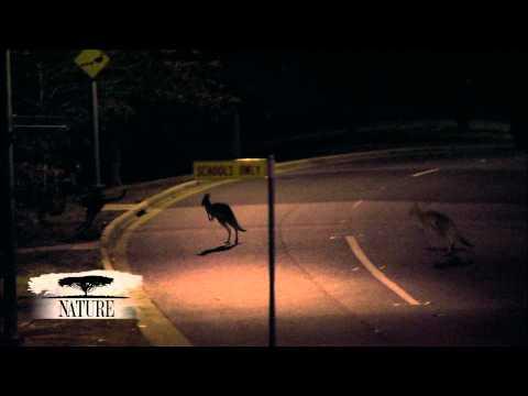 NATURE | Kangaroo Mob | Metropolitan Marsupials | PBS