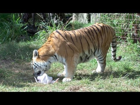 Tigers and Turkeys: A Love Story....
