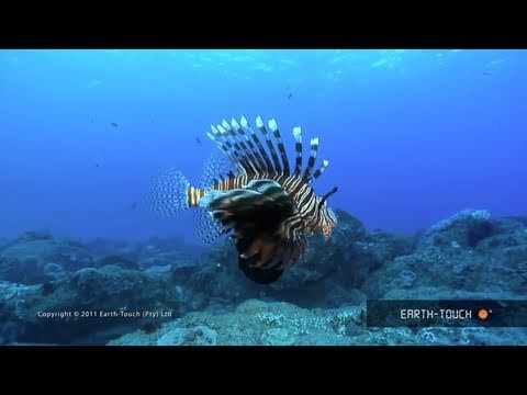 Colour-changing cuttlefish & a dead octopus