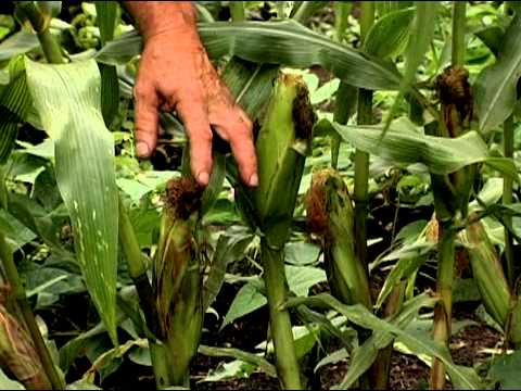How to Pick Sweet Corn