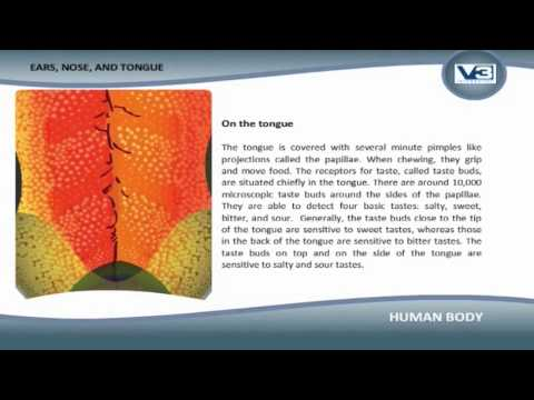 Human Body Ears, Nose and Tongue