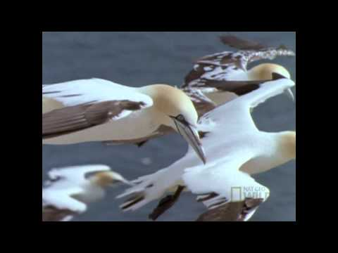 Deadly Gannets