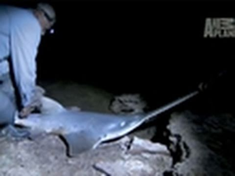 River Monsters- How to Catch a Freshwater Sawfish
