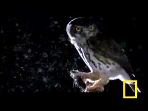 Owlet vs. Hawk Moth