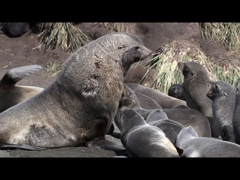 Seal Pup Survives Brutal Battle | Frozen Planet