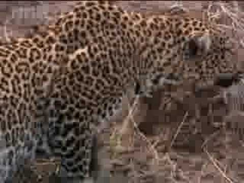 Watch African wildlife -  leopards ambush their prey  - BBC wildlife