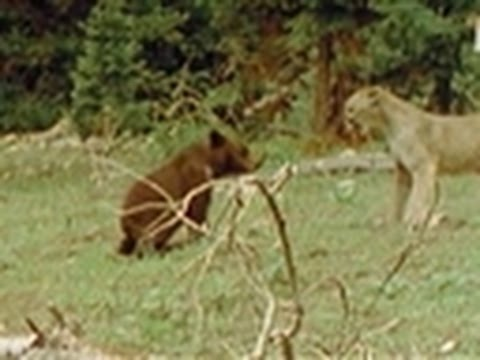 WTF- Baby Bear vs. Mountain Lion