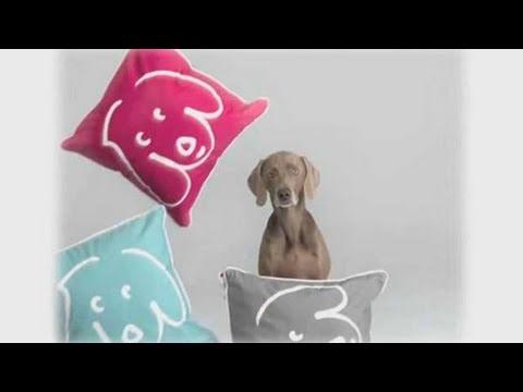 Understanding Dog Breeds: Weimaraner