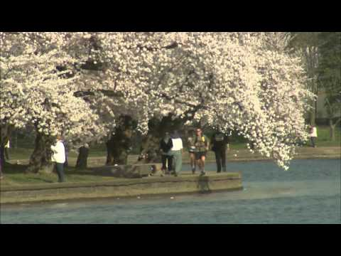 Planning to Visit the Cherry Blossoms? Err on the Earlier Side