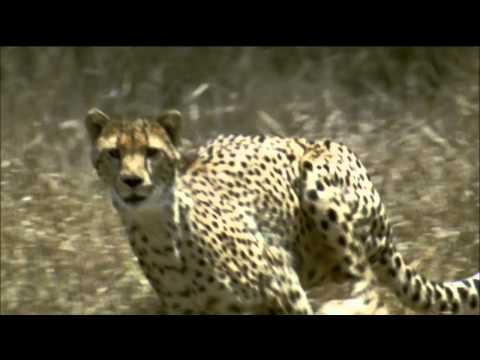 NATURE | The Cheetah Orphans - Preview | PBS