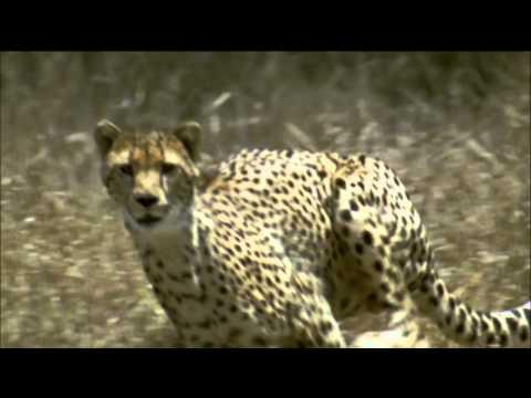 NATURE   The Cheetah Orphans - Preview   PBS