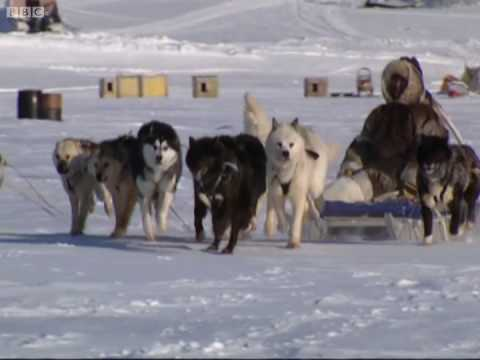 Reading the snow - A Boy Among Polar Bears - BBC