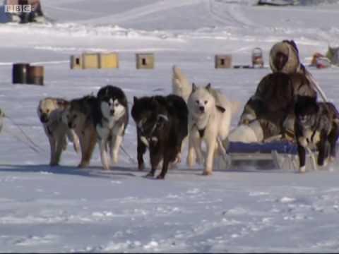 Reading the snow - A Boy Among Polar Bears - BBC