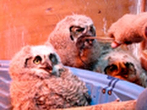 Orphaned Owls