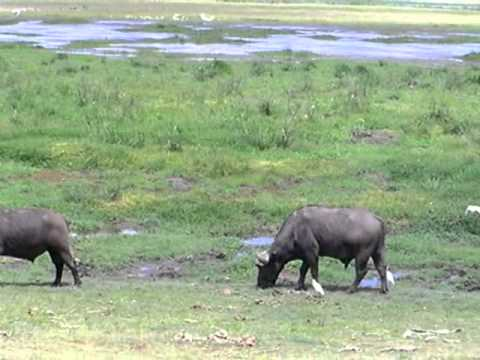 Water buffalo at Amboseli National Park, Kenya