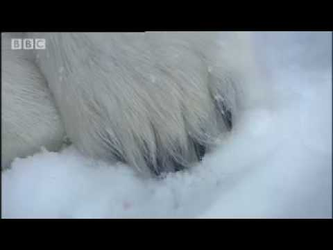 Touching a polar bear - Vets in the Polar Bear Wild - BBC animals