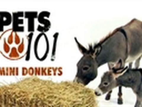 Pets 101- Mini Donkeys