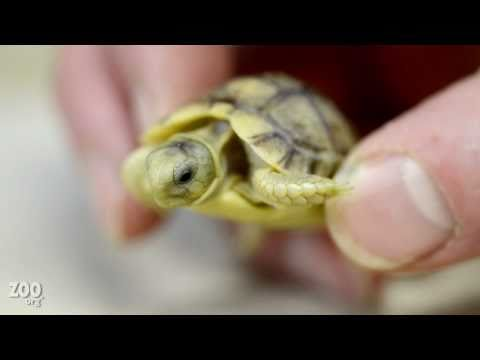 Tiny Baby Egyptian Tortoise Up Close