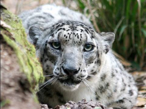 SNOW LEOPARD stalking and attacks!