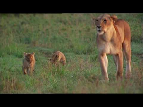 NATURE | Born Wild: The First Days of Life | Lion Cubs | PBS