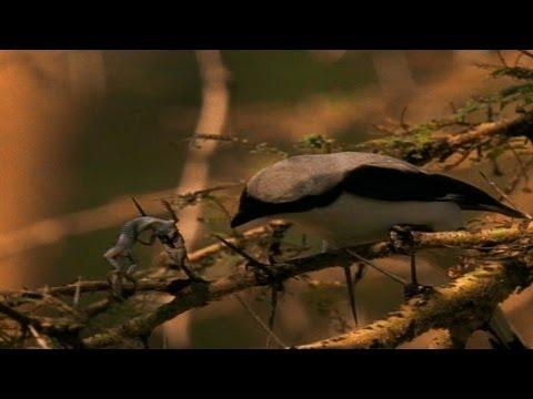 World's Weirdest - Cute Bird Impales Its Prey