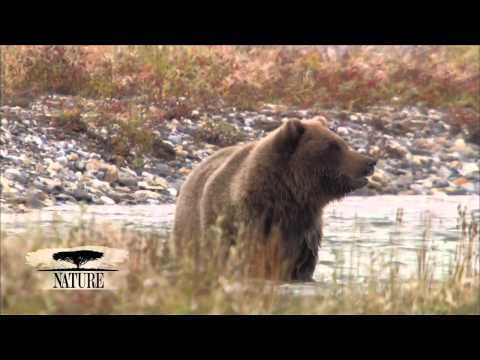 NATURE | Bears of the Last Frontier | The First Catch | PBS
