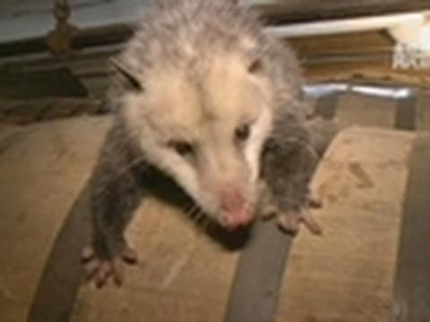 Opossum Live Action! | Call of the Wildman