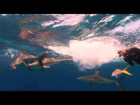 Shark Attack Survival Guide - Shark Tug of War | Shark Week 2010
