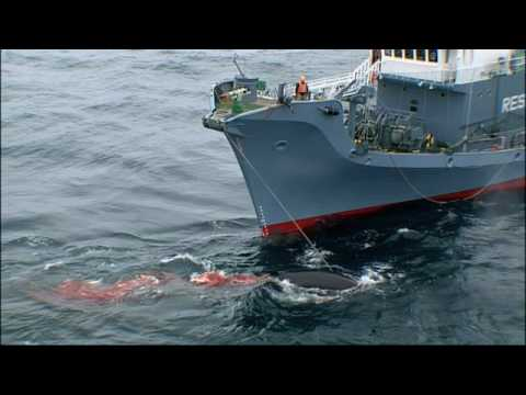 Whale Wars - Whalers' Point of View