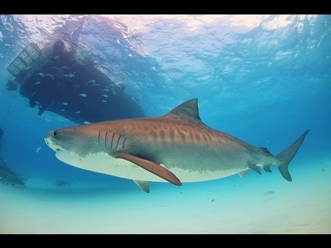 Shark Attack Destroys Honeymoon