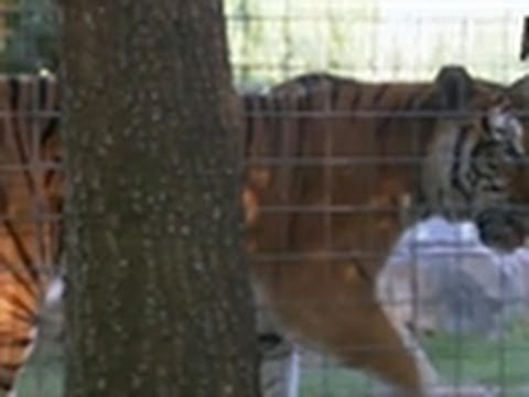 Tigers Rescued (Deleted Scene) | Fatal Attractions