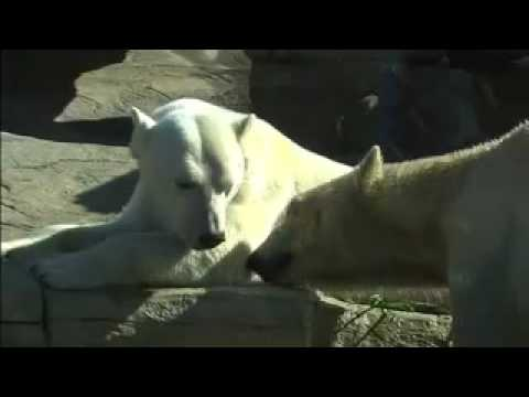 San Diego Zoo and Polar Bears International
