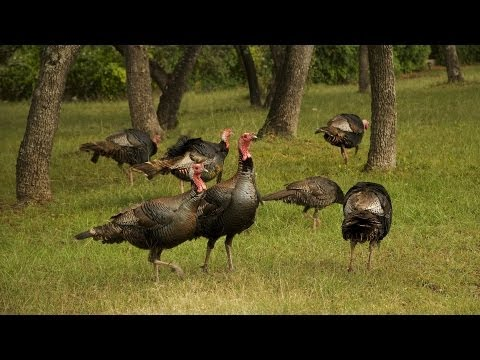 Turkey Hunting Tips | Archery and Bow Hunting