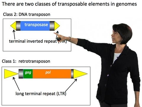 Susan Wessler (UC Riverside) Part 2: How transposable elements amplify throughout genomes