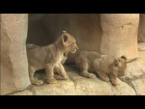 Seven Lion Cubs Pounce Onto the Scene