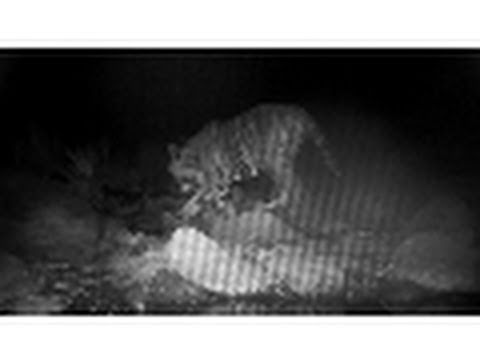 Tiger Camera Trap Success