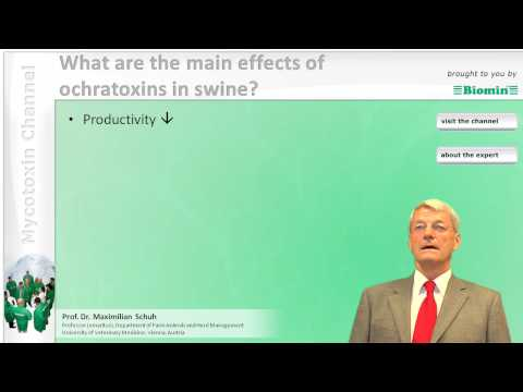 What are the main effects of ochratoxins in swine?