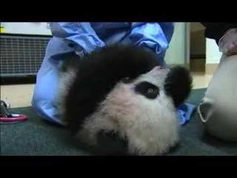 Panda Cub #4, Dec. 5, 2007